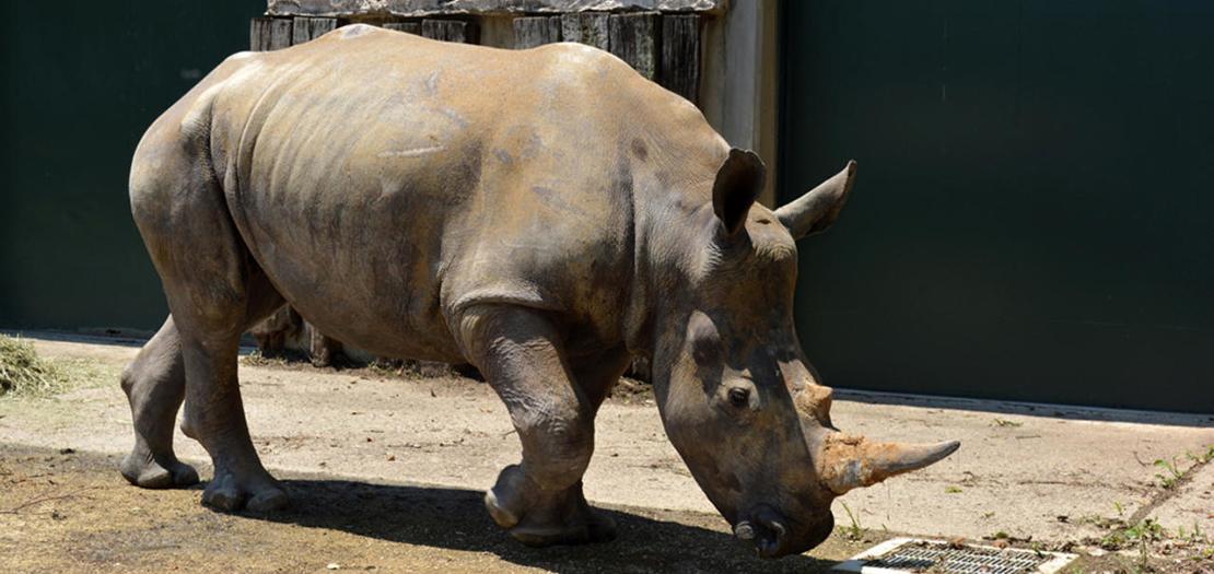"""أنثى وحيد القرن الأبيض """"إيما"""" © أ ف ب"""
